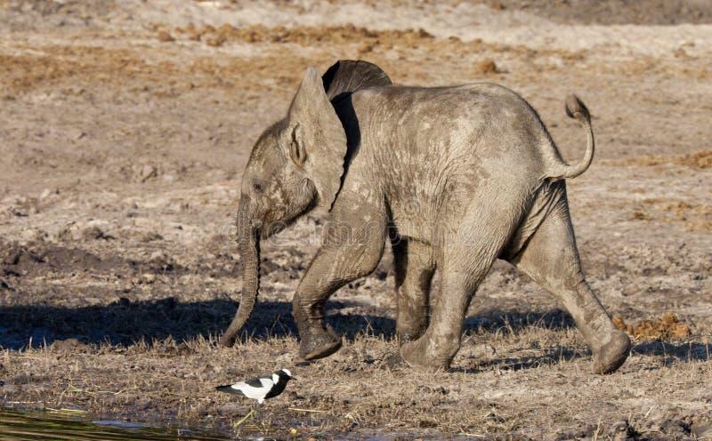 Elefante del bambino - Botswana immagini stock