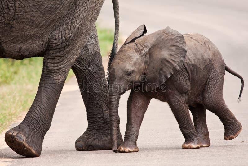 Elefante del bambino che cammina oltre alla sua madre immagine stock