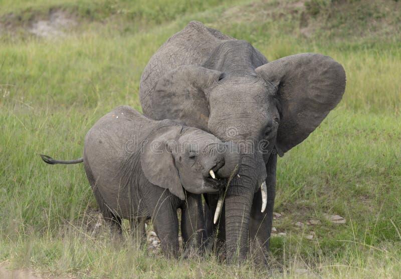Elefante del bambino e della madre ai masai Mara Game Reserve, Kenya fotografie stock