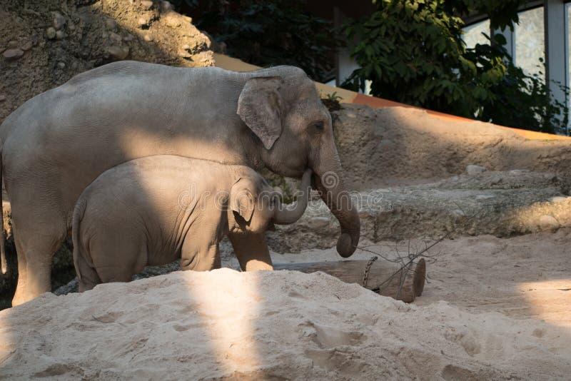 Elefante del bambino e sua madre allo zoo che camminano intorno fotografia stock