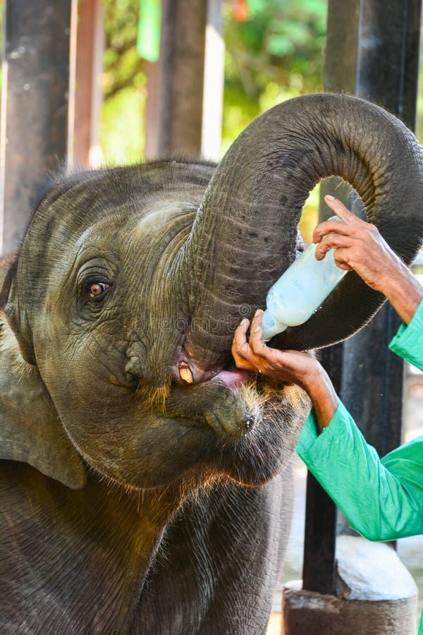 Elefante del bambino orfano che è alimentazione con latte fotografie stock