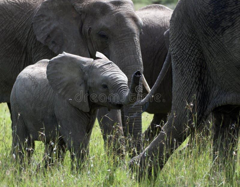 Elefante del bebé, africana del loxodonta, elefante de siguiente de la madre a través de la hierba verde fotografía de archivo