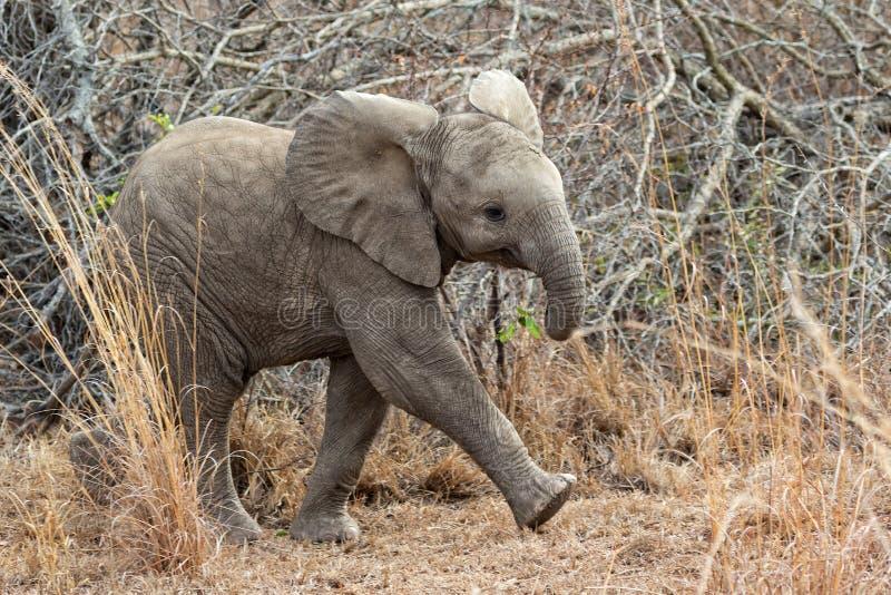 Elefante del bebé en el parque nacional del kruger imagenes de archivo