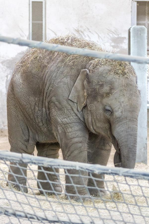 Elefante del bebé en el parque zoológico de Budapest foto de archivo