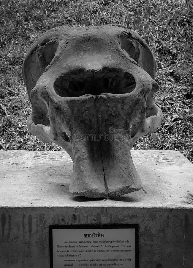 Elefante del cranio immagini stock libere da diritti