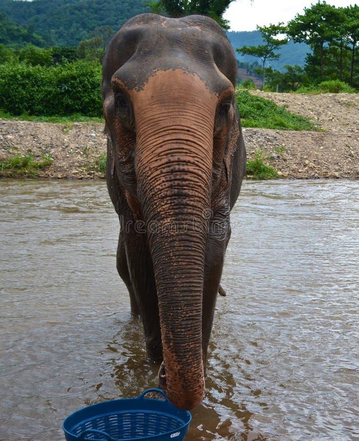 Elefante del fiume fotografia stock