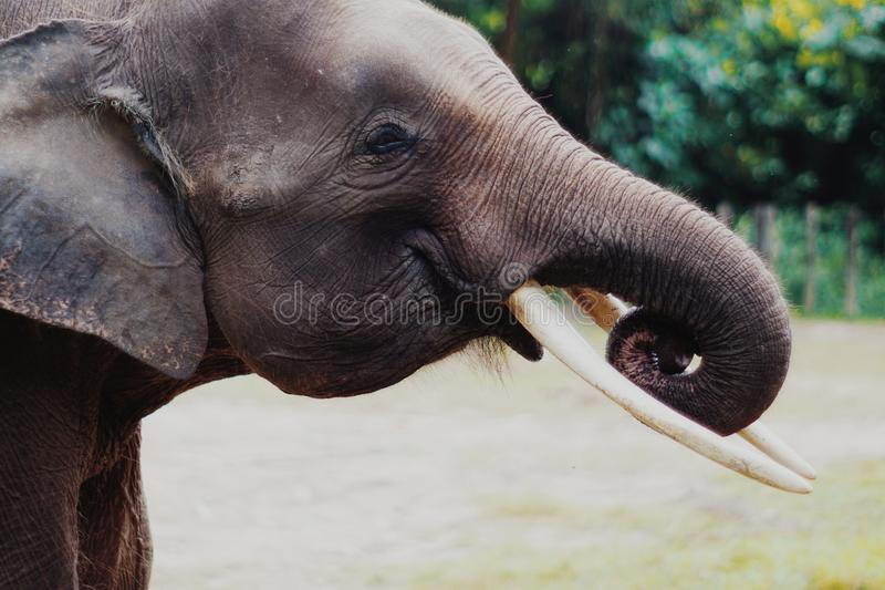 Elefante del pigmeo de Borneo foto de archivo