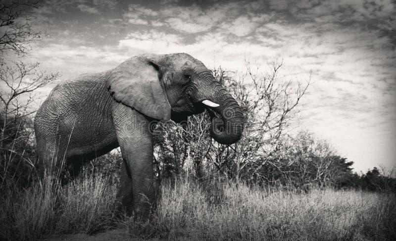 Elefante del elefante que busca la consumición para los colmillos de la comida imagen de archivo