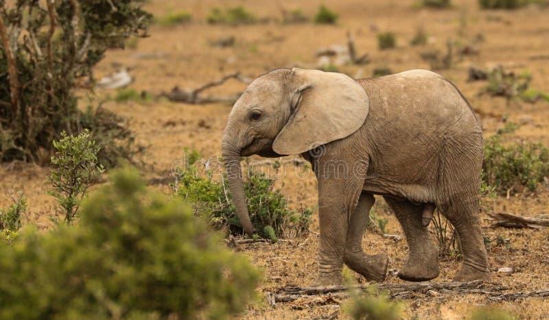 Elefante del varón del bebé imagenes de archivo