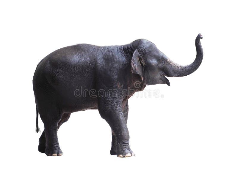 Elefante dell'Asia isolato su bianco fotografia stock libera da diritti