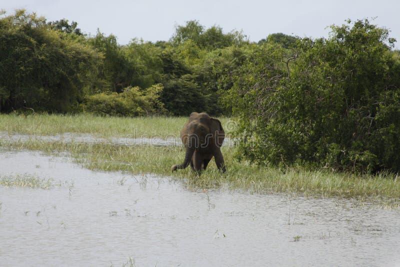 Elefante dello Sri Lanka immagini stock libere da diritti