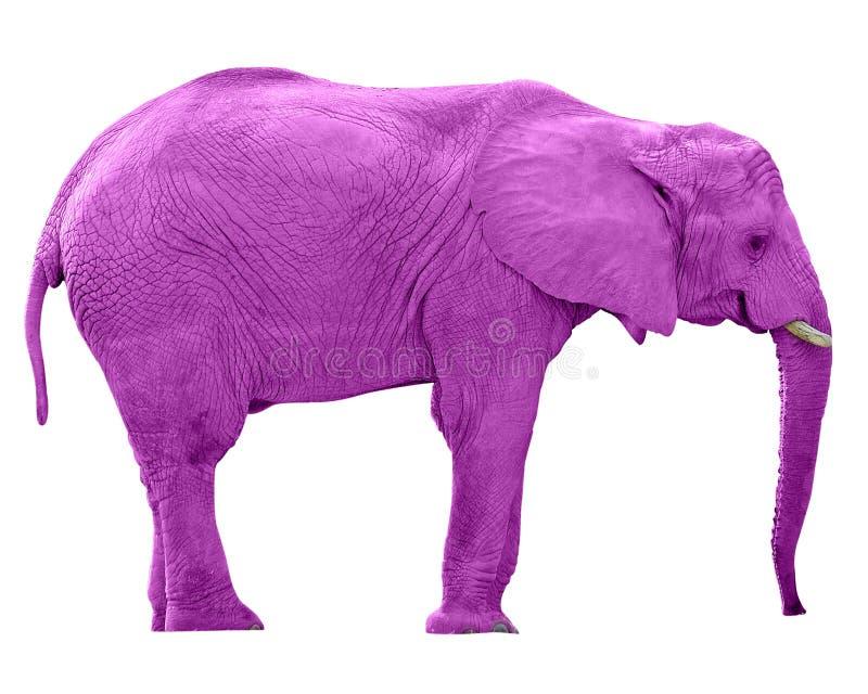 Elefante dentellare w/Paths immagini stock