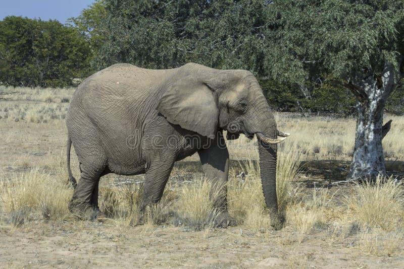 Elefante Deserto-adaptado Femle fotografia de stock