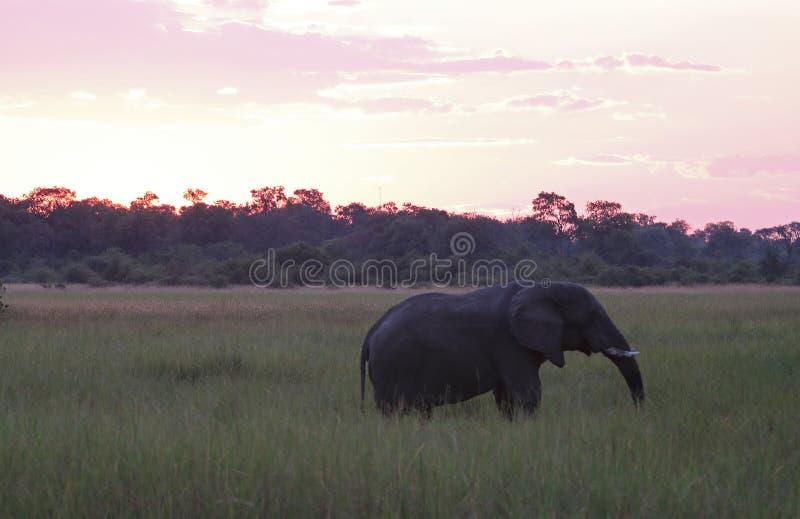 ELEFANTE DI BUSH DELL'AFRICANO AL TRAMONTO IN PASCOLO VERDE fotografia stock libera da diritti