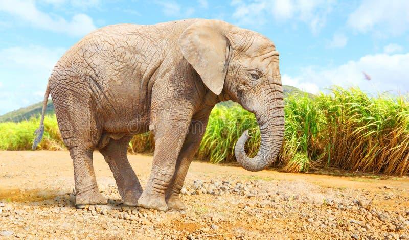 Elefante di Bush dell'Africano - loxodonta africana vicino al giacimento della canna da zucchero immagini stock libere da diritti