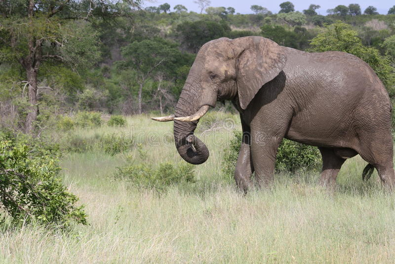 Elefante di toro africano dopo il bagno fotografia stock libera da diritti