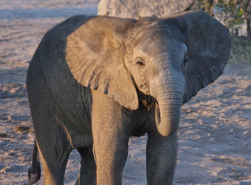 Elefante do bebê - Botswana imagens de stock royalty free