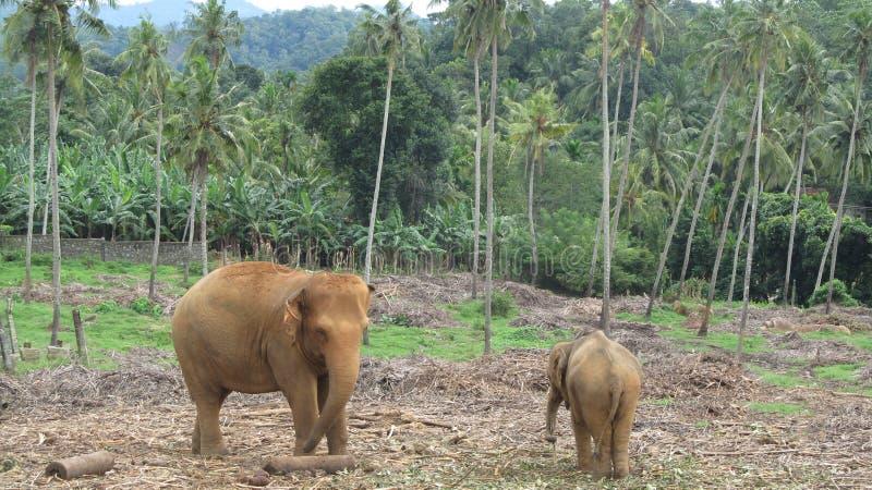 Elefante do bebê e da matriz imagens de stock