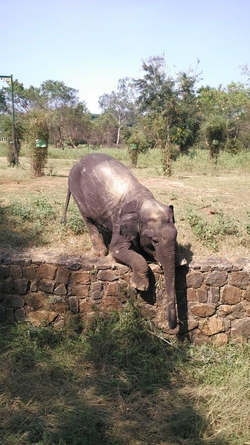 Elefante do bebê no jardim zoológico que come a grama fotografia de stock