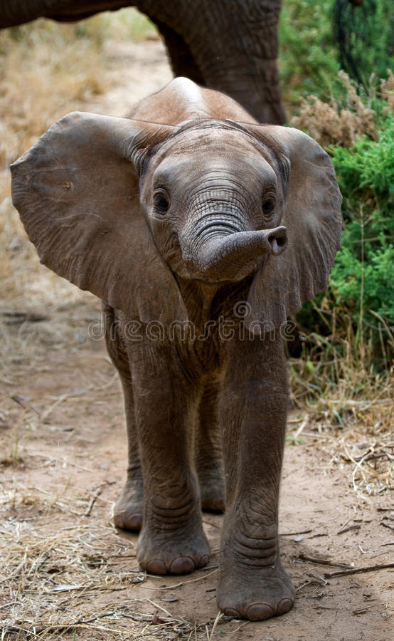 Elefante do bebê no savana Close-up África kenya tanzânia serengeti Maasai Mara fotos de stock royalty free