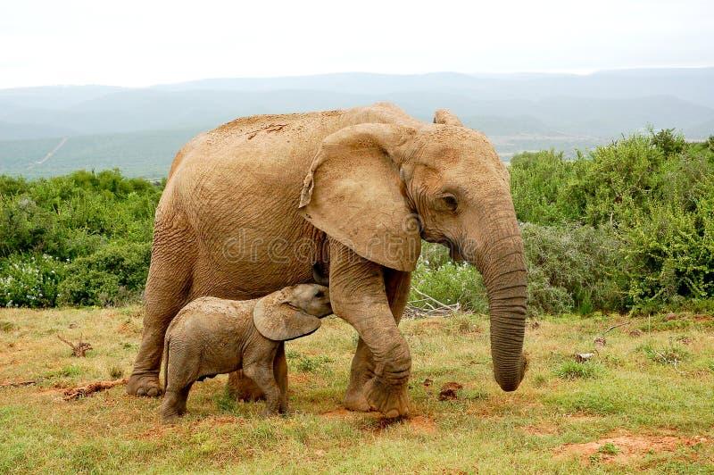 Elefante do bebê que mama a mãe imagens de stock royalty free