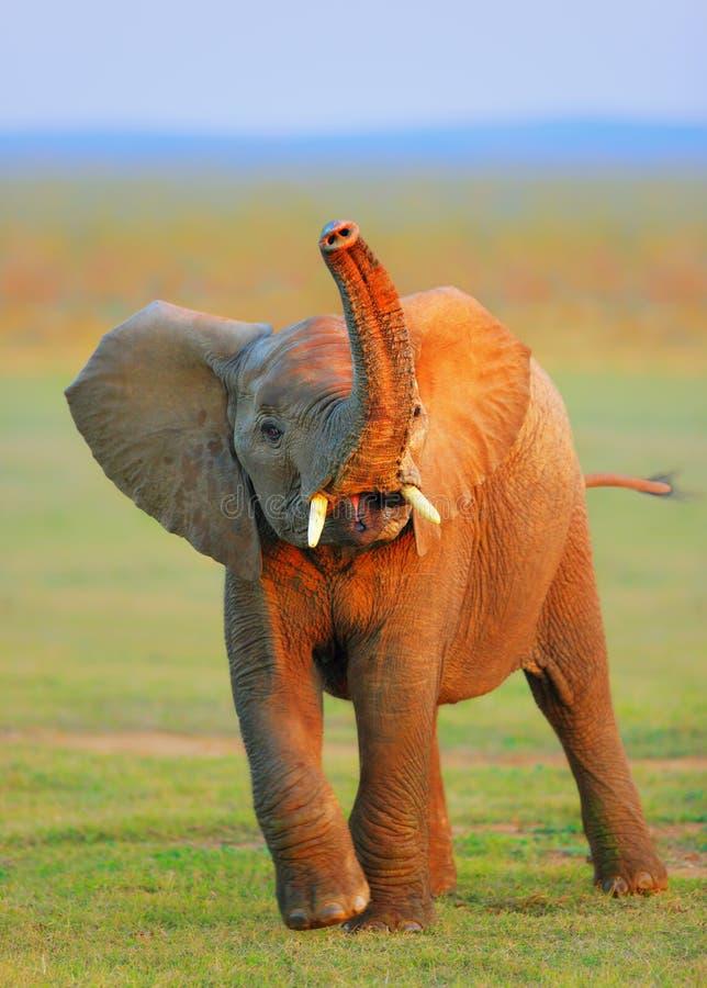 Elefante do bebê - tronco levantado foto de stock royalty free
