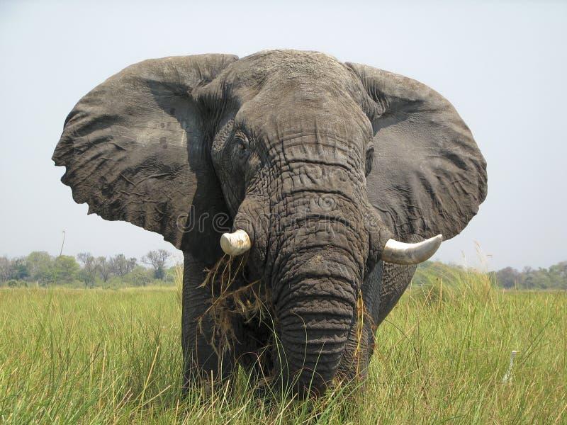 Elefante do delta de Okavango fotografia de stock royalty free