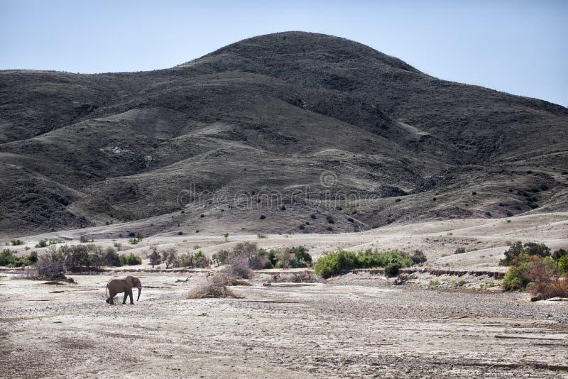 Elefante do deserto que anda em Purros, Kaokoland, regi?o de Kunene nafta Paisagem ?rida imagem de stock royalty free