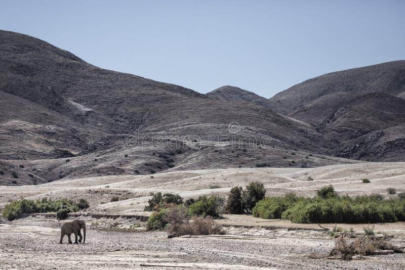 Elefante do deserto que anda em Purros, Kaokoland, regi?o de Kunene nafta Paisagem ?rida na cama de rio fotos de stock