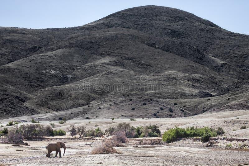 Elefante do deserto que anda em Purros, região de Kunene nafta imagens de stock
