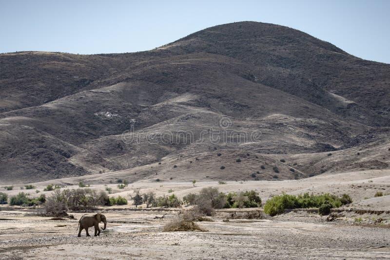 Elefante do deserto, regi?o de Kunene nafta fotos de stock