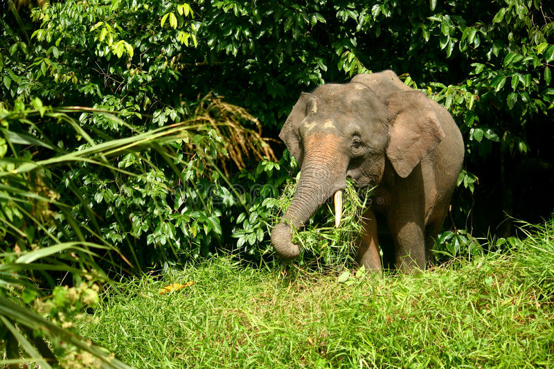 Elefante do pigmeu foto de stock