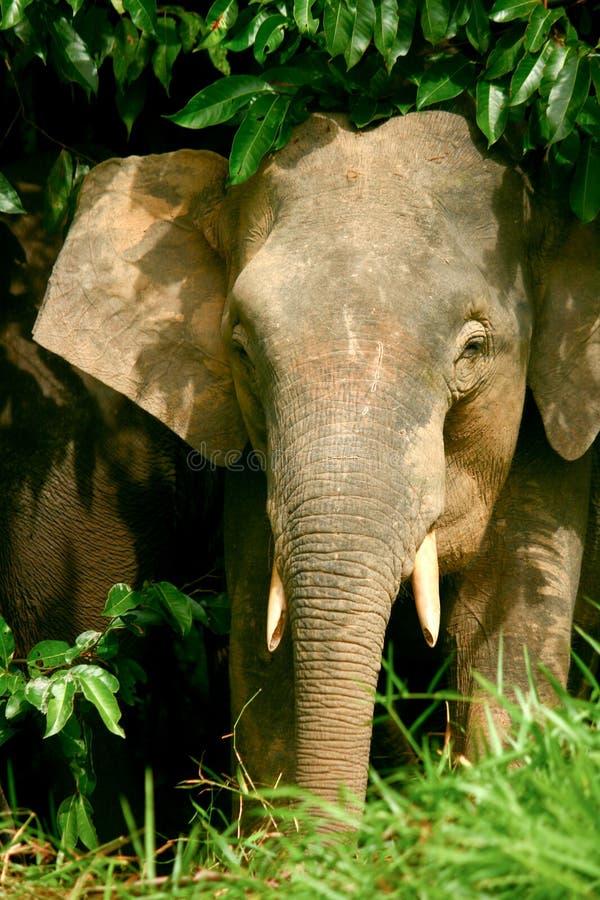 Elefante do pigmeu imagens de stock royalty free