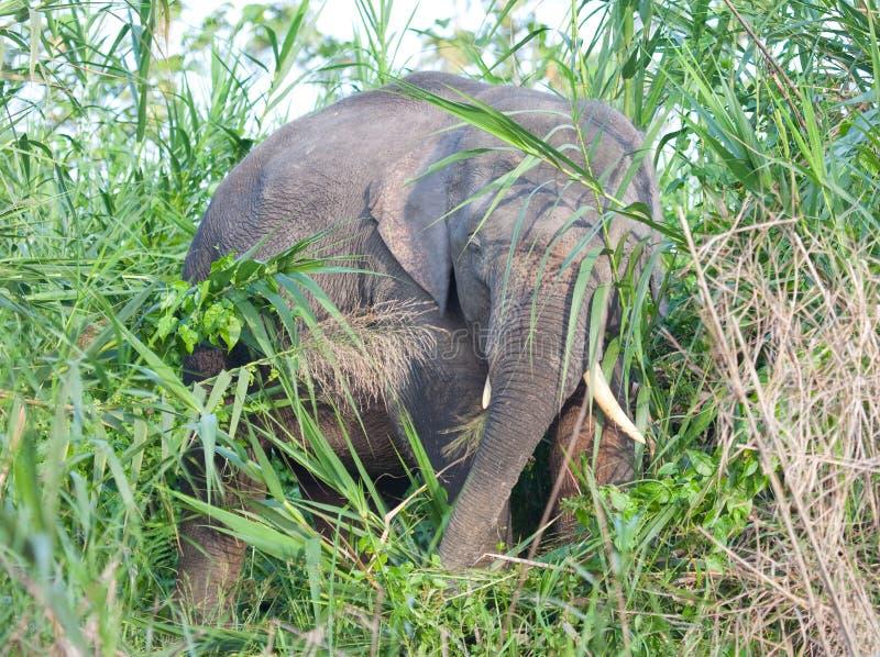 Elefante do pigmeu de Bornéu imagem de stock