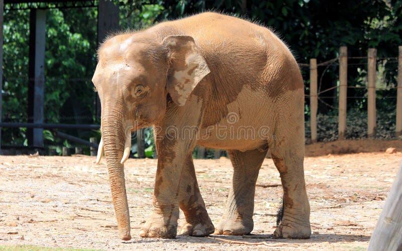 Elefante do pigmeu de Bornéu fotografia de stock royalty free