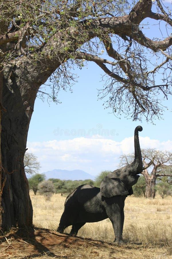 Elefante e baobab fotos de stock