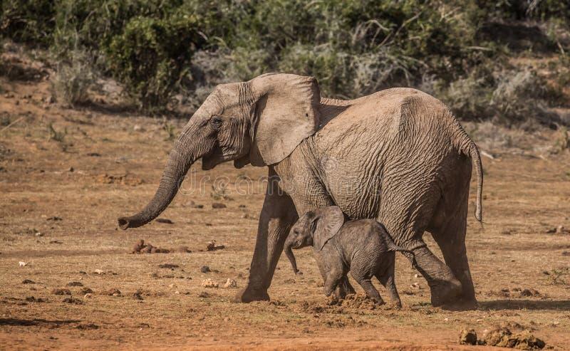 Elefante e irmão do bebê que correm e que jogam imagens de stock