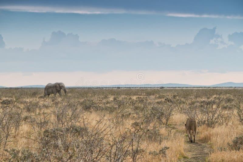 Elefante e leoa com trajetos convergentes nafta África imagens de stock royalty free