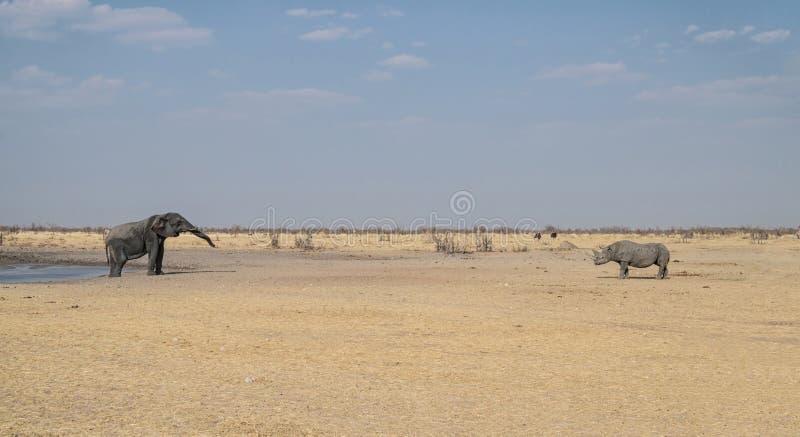 Elefante e rinoceronte preto fotografia de stock royalty free