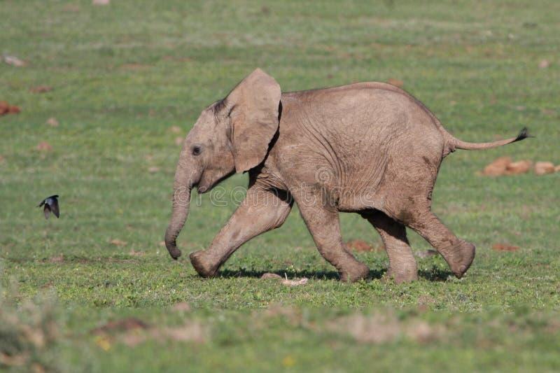 Elefante ed uccello del bambino fotografia stock libera da diritti