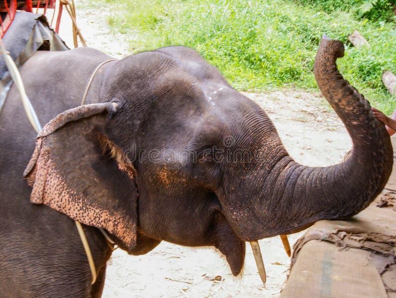 Elefante em Chiang Mai, Tailândia, 3Sudeste Asiático, Ásia fotos de stock royalty free