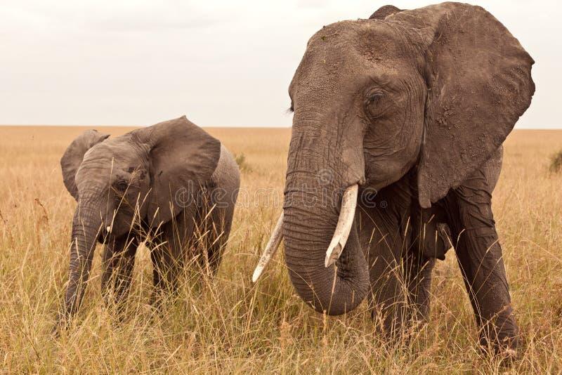 Elefante em Kenya fotografia de stock
