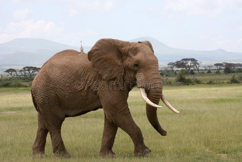 Elefante en Amboseli Kenia fotografía de archivo
