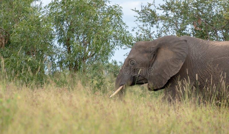 Elefante en el arbusto en el parque nacional de Kruger, Suráfrica fotos de archivo libres de regalías