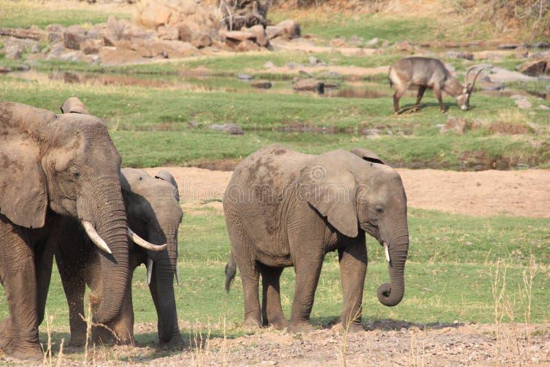 Elefante en el arbusto en el parque nacional del ruaha fotografía de archivo