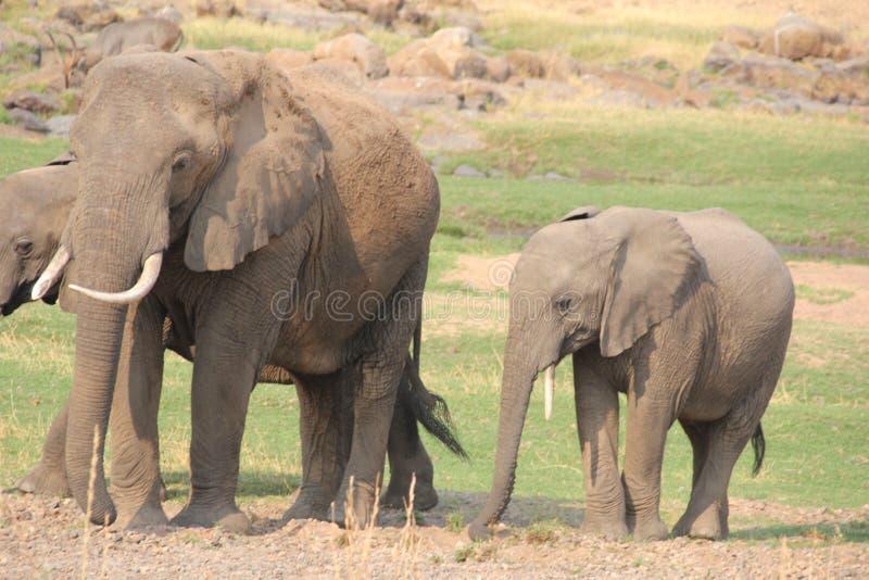Elefante en el arbusto en el parque nacional del ruaha fotos de archivo