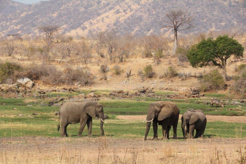 Elefante en el arbusto en el parque nacional del ruaha imágenes de archivo libres de regalías