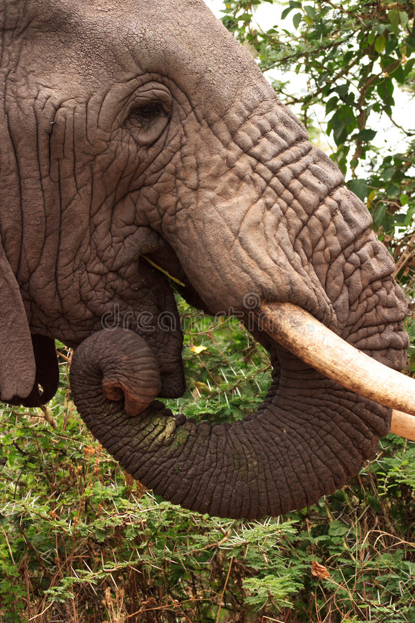 Elefante en el cráter de Ngorongoro imagen de archivo