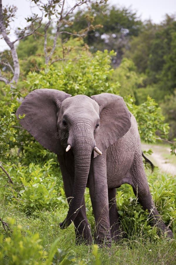 Elefante en el parque de Kruger fotos de archivo libres de regalías