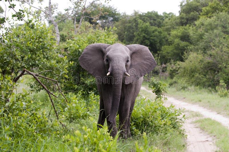 Elefante en el parque de Kruger fotografía de archivo